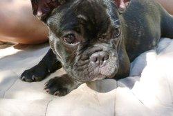 Georgette, chien Bouledogue français