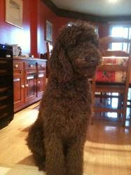 Georgette, chien Caniche
