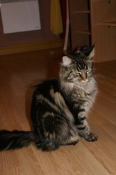 Georgia Des Coon Salonais, chat Maine Coon