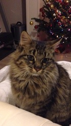 Gepeto, chat Maine Coon