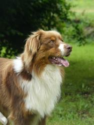 Gepp, chien Berger australien