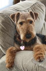 Géraldine, chien Airedale Terrier