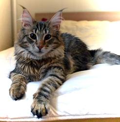 Gerfaut, chat Norvégien