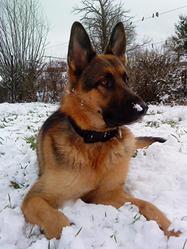 Gériko, chien Berger allemand