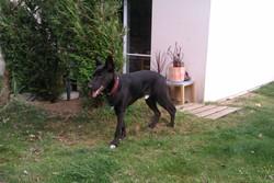 Gerko, chien Berger belge