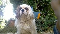 Gerlin, chien Cavalier King Charles Spaniel