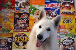 Gerry, chien Berger blanc suisse