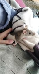 Gersi, rongeur Rat
