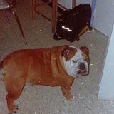 Gertrude, chien Bulldog