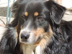 Gerys, chien Berger australien