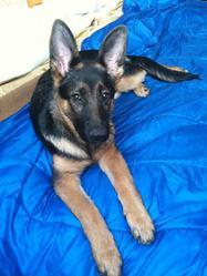 Gessie, chien Berger allemand