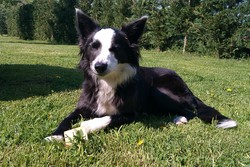 Gessie, chien Border Collie