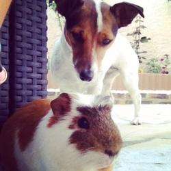 Gessie , chien Jack Russell Terrier