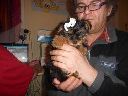 Gessy, chien Yorkshire Terrier