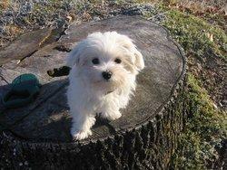 Gessy, chien Bichon maltais
