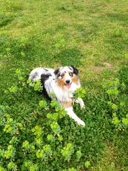Get-Up, chien Berger australien