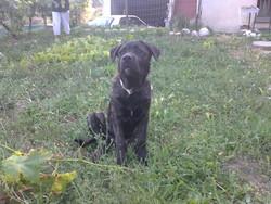 Getro, chien Mâtin napolitain