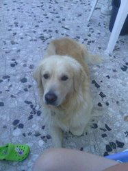 Getro, chien Golden Retriever