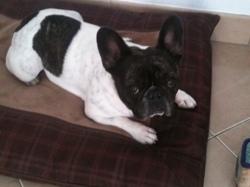 Getro, chien Bouledogue français