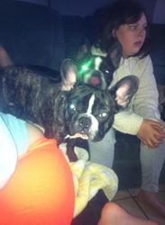 Geuss, chien Bouledogue français
