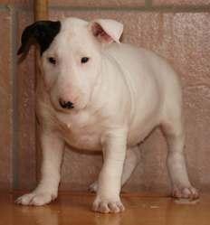 Geyshah, chien Bull Terrier