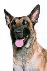 Gezielt, chien Berger belge