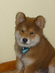Ghaina, chien Eurasier