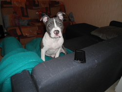 Ghais, chien American Staffordshire Terrier