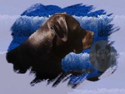 Ghalia, chien Cane Corso