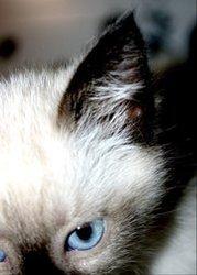 Ghana, chat Siamois