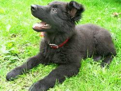 Ghana, chien Berger allemand