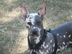 Ghanan, chien Chien nu mexicain