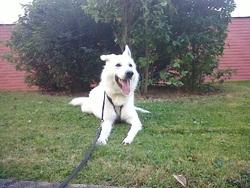Ghandi, chien Berger blanc suisse