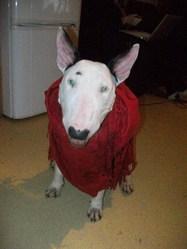 Ghania, chien Bull Terrier