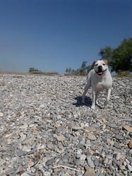 Ghendja, chien Bulldog