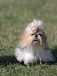 Ghia-Na Du Domaine Des Varennes, chien Shih Tzu