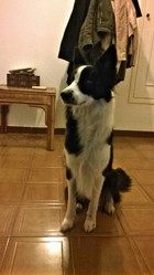 Ghia, chien Border Collie