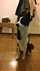 Ghia, chien Border Collie