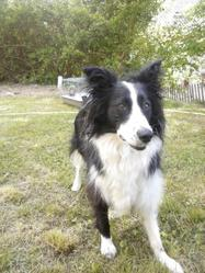 Ghiny, chien Border Collie