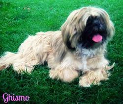 Ghismo, chien Shih Tzu