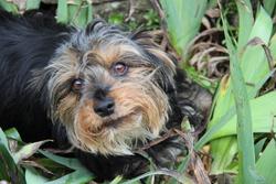 Ghismo, chien Yorkshire Terrier