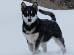 Ghost, chien Malamute de l'Alaska