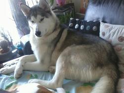 Ghost, chien Husky sibérien