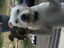 Ghost, chien American Staffordshire Terrier
