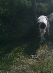 Ghost, chien