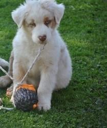 Ghost, chien Berger australien