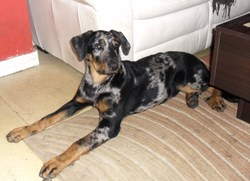 Ghost Blue, chien Beauceron