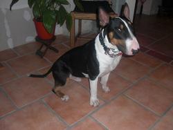 Ghost Du Clan Des Bulls D'ozer, chien Bull Terrier