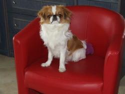 Ghyps, chien Épagneul japonais
