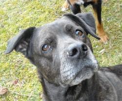 Gia, chien Labrador Retriever